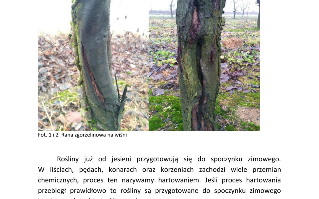 Bielenie drzew- po co, kiedy i jak ?!